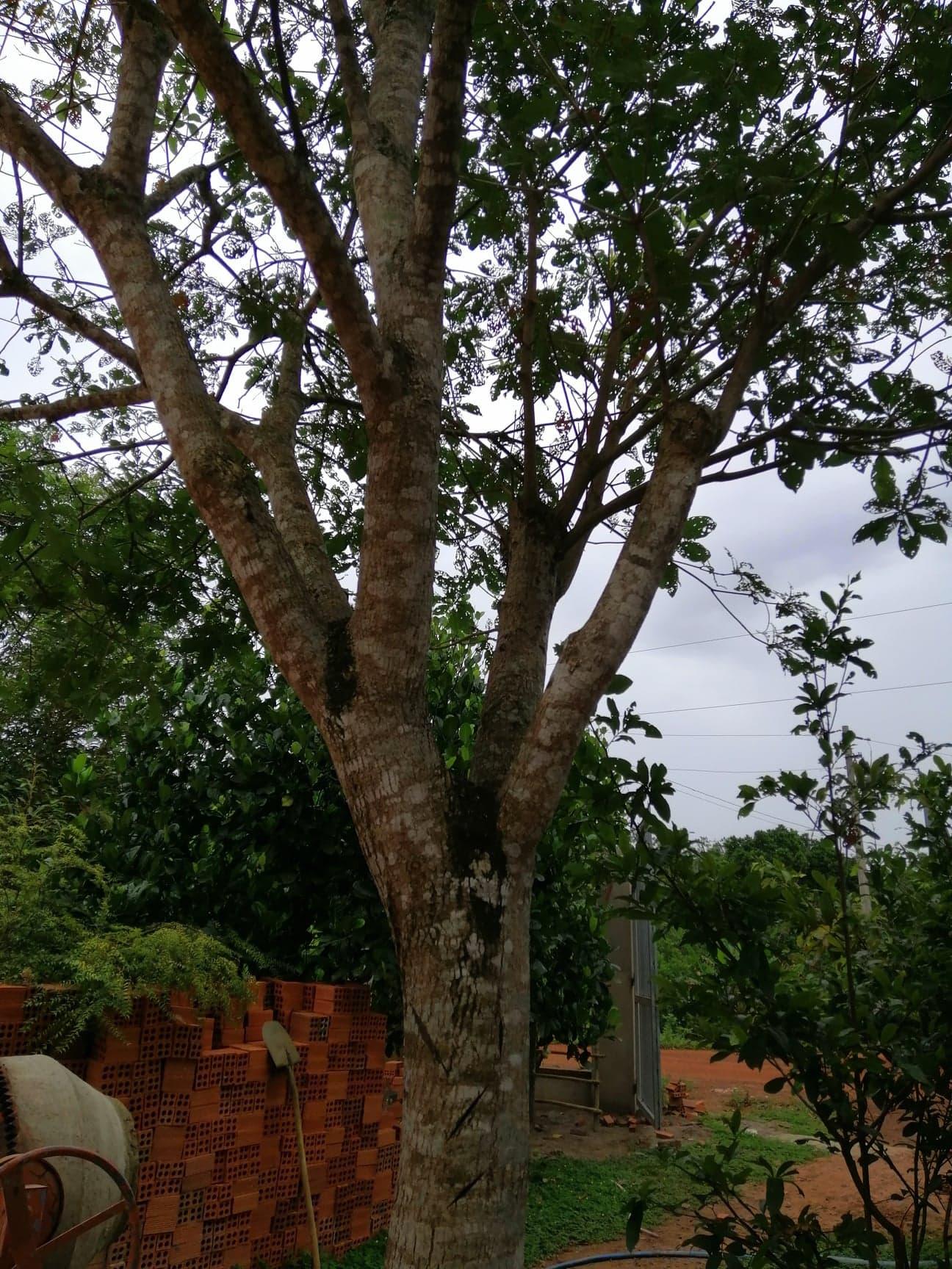 thân cây lộc vừng